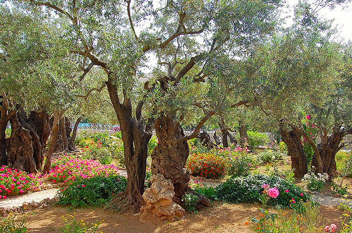 """Traditional """"Garden of Gethsemane"""" on Mount of Olives (Photo by Don Knebel)"""