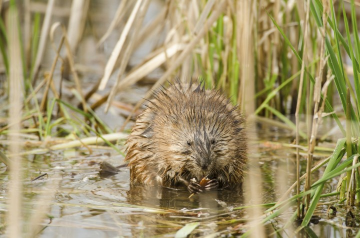 Muskrats, like the one shown here, live in dirt mounds in Carmel's Central Park. (submitted photo)