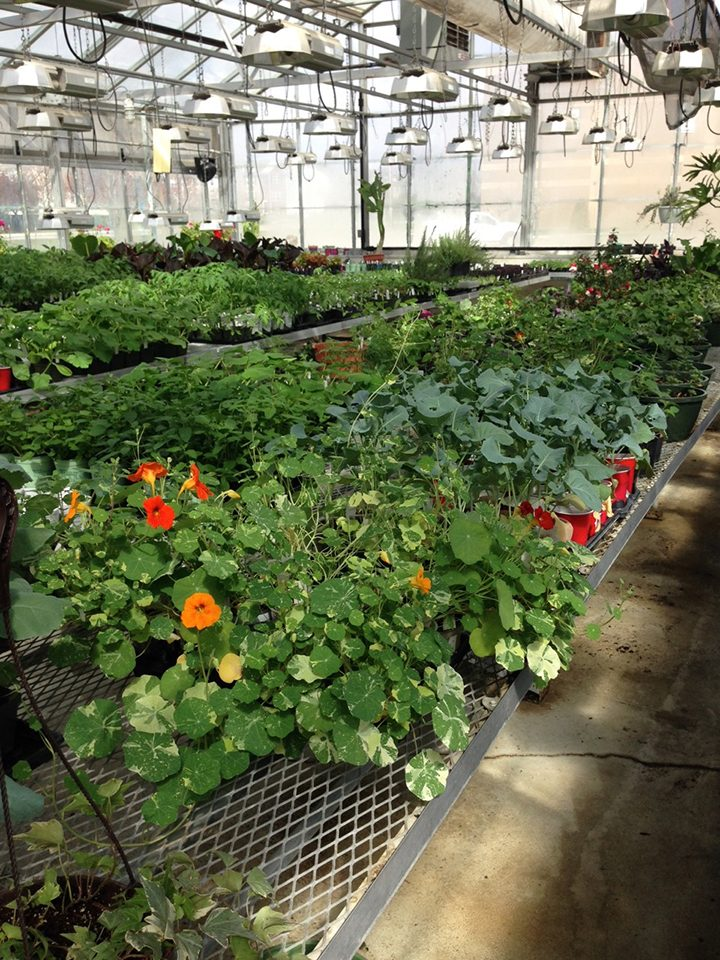 Plants from the HSEHS greenhouse, including the nasturtiums and broccoli in the foreground, are available for sale beginning April 30.