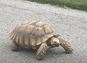 Merlin was a 65 pound sulcate tortoise. (Photo courtesy of Justice for Merlin Facebook page)